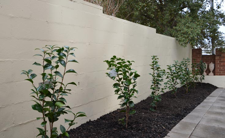 Camellia Japonica used as screening plants